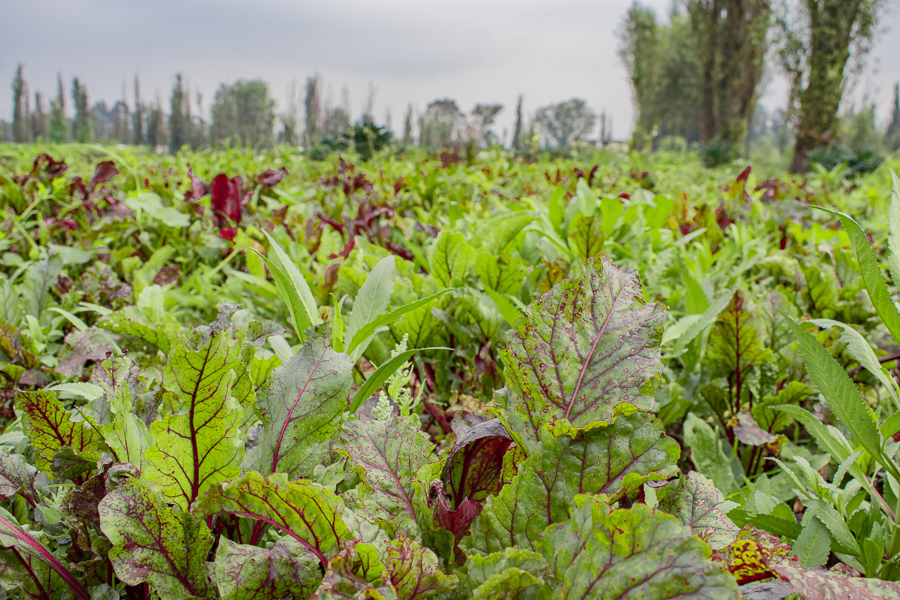 Lettuces growing in the chinampas at the Yolcan farm in Xochimilco, Mexico City.